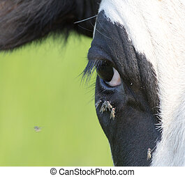 flies in front of a cow