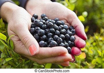 mulher, colheita, saudável, mirtilos, em, a,...