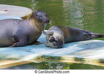 Harbour seal Phoca vitulina baby - Very young harbour or...