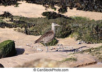 Curlew - Beautiful curlew in a beach from the north of...