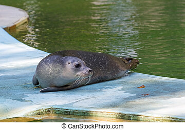 Harbour seal (Phoca vitulina) baby - Very young harbour or...