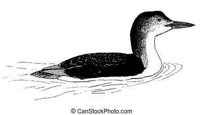 Common Loon - Gavia immer - winter