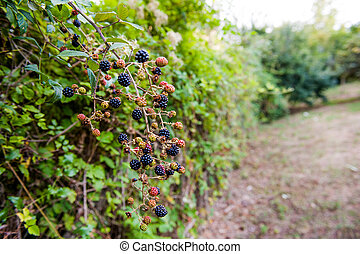 Blackberry bush in garden with red and black fruits,...
