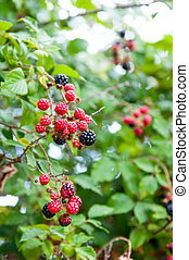 Blackberry bush in garden with red and black fruits