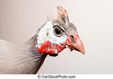 Helmeted guinea fowl (Numida meleag - A helmeted guinea fowl...