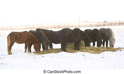 Icelandic horses eat hay in winter - Two Icelandic horses...