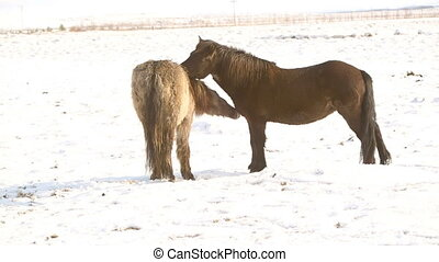Icelandic horses take care of each - Two Icelandic horses...