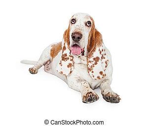 Panting Basset Hound Dog Laying - A Panting Basset Hound Dog...
