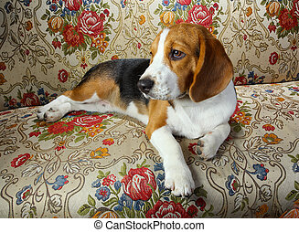 beagle dog caught sleeping on the living room sofa
