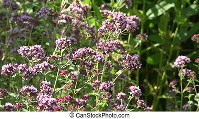 Bee pollinating origanum, 4K - Origanum vulgare wild majoram...