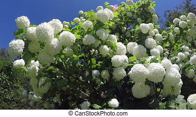 beautiful spring viburnum bush flowers waving in the wind,...