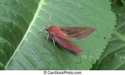 butterfly Elephant hawk-moth - beautiful butterfly Elephant...