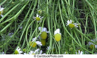 Chamomile on wooden background - Zoom out of chamomile...