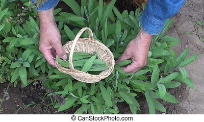 collecting medical salvia leaves - Gardener collecting...