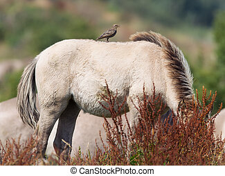 Bird sitting on Konik horse in summer