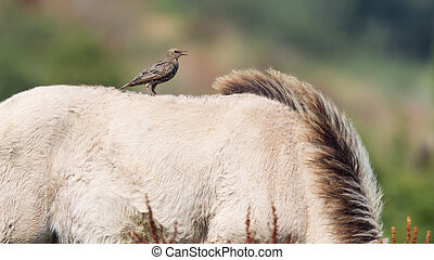 Bird sitting on Konik horse in summer