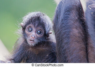 Spider monkey Ateles fusciceps, infant and its mother
