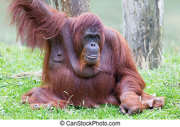Orang utan resting  in it's natural habitat