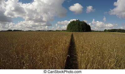 Wheat field with a way on sunny day