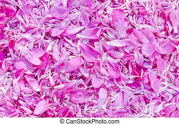 verão, peony, Cor-de-rosa, pétala, fundo,