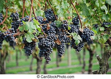 viña, uvas