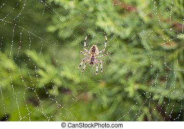 Spider in its net - Garden spider Argiope aurantia in its...