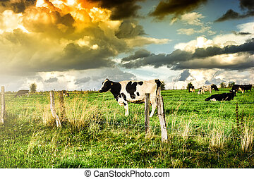 Herd of cows at summer sunset Agricultural concept