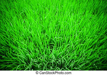 view from the top of rice paddy
