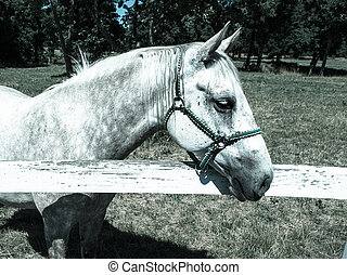 Portrait of Lipizzaner stallion - Portrait of white...