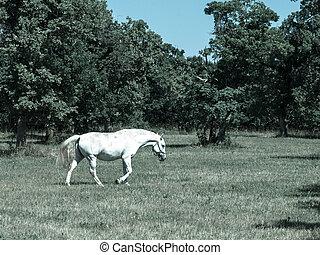 Walking Lipizzaner stallion - Lipizzaner stallion walks on...