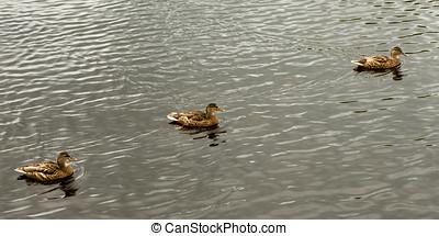 Three Mallard wild ducks swimming - Close-up of Mallard wild...