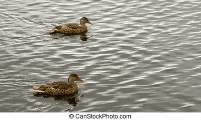 Two Mallard wild ducks swimming - Close-up of Mallard wild...