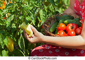 Woman picking fresh vegetables in the garden - closeup