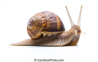 Snail with shell - A garden snail Helix aspersa with brown...