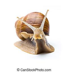Big garden snail (Helix aspersa) - A snail looks interested...