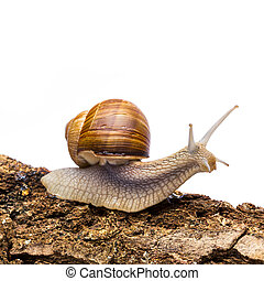 snail (Helix aspersa) - A snail crawling across a tree trunk...