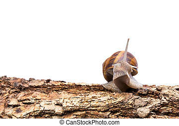 garden snail (Helix aspersa) on a tree trunk - A snail...