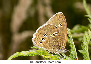 Ringlet butterfly from Germany