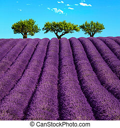 Lavender and trees uphill. Provence, France - Lavender...