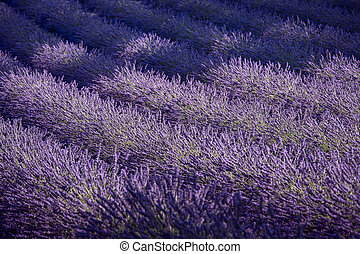 Lavender field and ray of light. Provence, France Europe