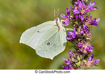 Gonepteryx rhamni, Common Brimstone