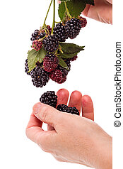 Hand with a branch blackberry