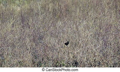 Redwinged Black Bird Sitting On Dri - Redwinged Black Bird...