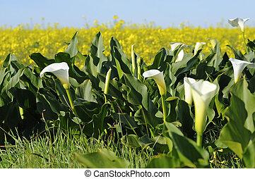 Arum Lilies, Zantedeschia aethiopica,