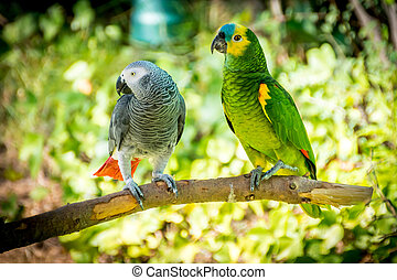 African grey parrot and Blue-fronted amazon perched on a...
