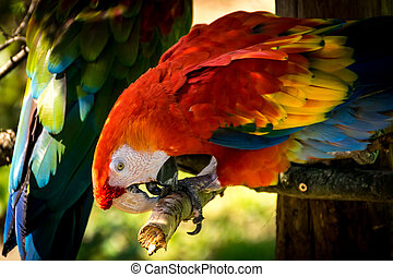 Red-and-green macaw (Ara-chloropterus) - Red-and-green macaw...
