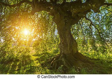 Sun shines through the old Beech