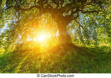 Sun shines through the old Dwarf Beech