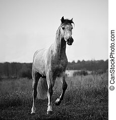 young gray andalusian stallion running, monochromatic tones