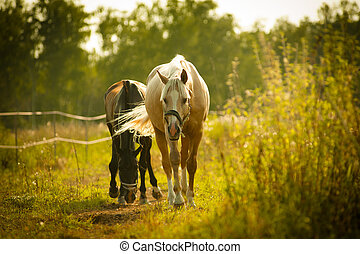horses walking in paddock in sunset light